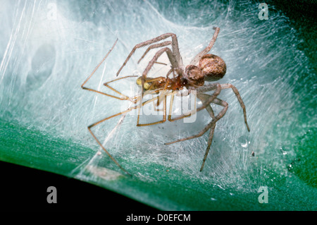 Running / House crab spider (Philodromus dispar) female catching male Enoplognatha ovata as she sits guarding her - Stock Photo