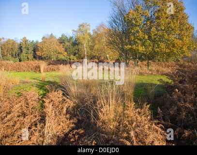 Sandlings heathland vegetation autumn Westleton Heath, Suffolk, England - Stock Photo