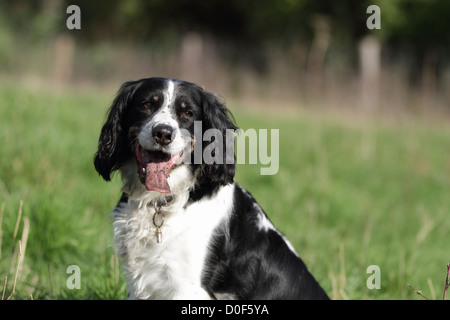 A black and white hunting dog (English springer spaniel) sitting on the grass in a field, enjoying the sun with - Stock Photo