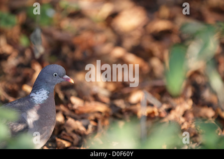 A Common Wood Pigeon (Columba palumbus) sitting on the ground,between the fallen leaves in autumn. - Stock Photo