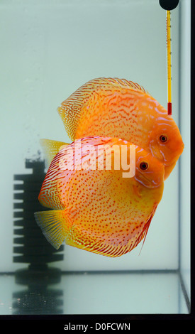 fire discus in aquarium - Stock Photo