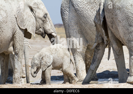 Baby elephant between his herd - Stock Photo