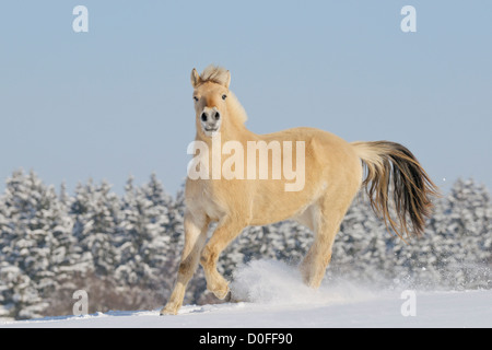 Young Norwegian horse galloping in snow - Stock Photo