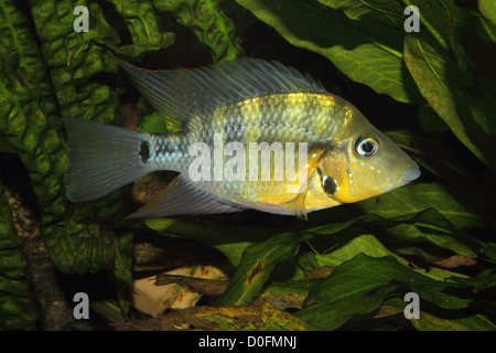 Yellow Fire Mouth (Thorichthys passionis) - Male in a aquarium - Stock Photo