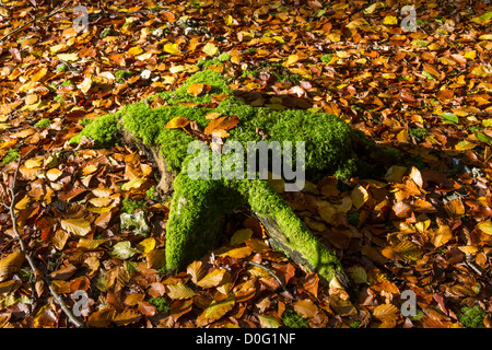Autumn leaves & moss on tree stump - Stock Photo