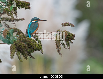 Alcedo atthis, Kingfisher perched on a branch looking for fish in the river below - Stock Photo