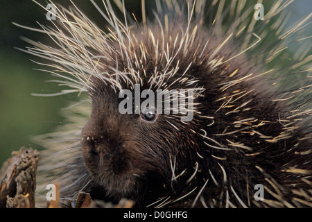 Baby Common Porcupine in the Foothills of the Takshanuk Mountains - Stock Photo