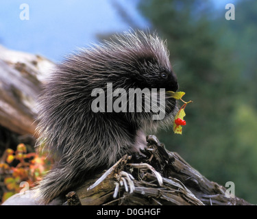 Baby Common Porcupine Feeding on Leaves in the Takshanuk Mountains - Stock Photo