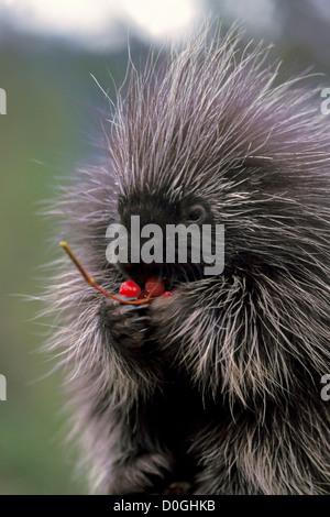 Baby Common Porcupine Feeding on Cranberries in the Takshanuk Mountains - Stock Photo
