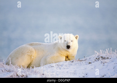 Young Adult Polar Bear Resting on Frozen Tundra - Stock Photo
