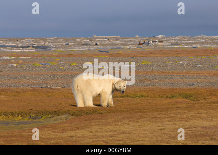 Polar Bear Walking Looking for Food on Land, Arctic National Wildlife Refuge, Alaska - Stock Photo