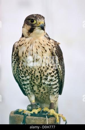 Saker Peregrine cross Falcon, Falconry bird - Stock Photo