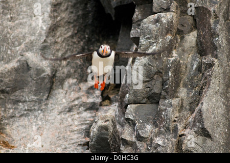 An adult Atlantic puffin (Fratercula arctica) takes flight off cliff in Sassenfjorden in summertime Svalbard archipelago - Stock Photo