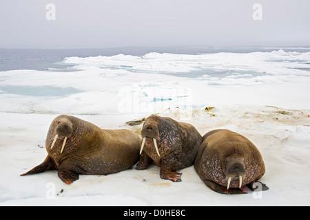 Walruses (Odobenus rosmarus) rest on sea ice floating off the northwest coast of Svalbard, Norway, in summertime. - Stock Photo