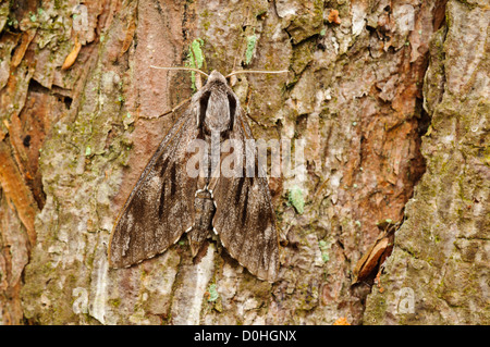 An adult pine hawk-moth (Hyloicus pinastri) camouflaged against the bark of a pine tree at Thursley Common. - Stock Photo