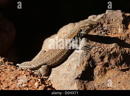 Tenerife or Gallot's Lizard, Western Canaries Lizard, Tizon Lizard, Gallotia galloti, Lacertidae. Icod de los Vinos, - Stock Photo