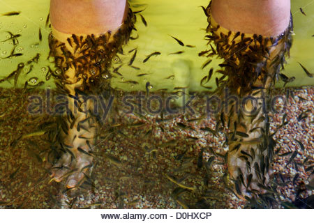 Garra rufa fish also known as doctor fish nibble fish or for A salon called fish