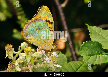 A silver-washed fritillary (Argynnis paphia) feeding on bramble flowers and displaying its irridescent underwings. - Stock Photo