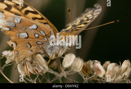 Great Spangled Fritillary butterfly, Speyeria cybele, near end of it's lifecycle. - Stock Photo