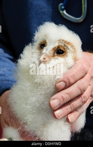 A young, pre-fledging barn owl chick (Tyto alba) about to be returned to the nest after ringing at Crossness Nature - Stock Photo
