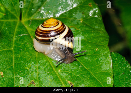A white-lipped snail (Cepaea hortensis) on a wet leaf at Wicken Fen, Cambridgeshire. july. - Stock Photo