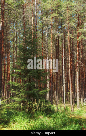 Lonely fir-tree in pine forest. - Stock Photo