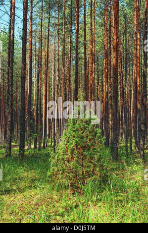 Lonely juniper in pine forest. - Stock Photo
