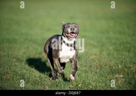 A Young Staffordshire Bull Terrier - Stock Photo