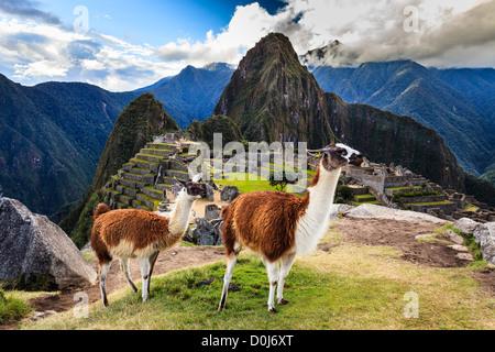 Llamas in Machu Picchu Archeological Site, Cuzco Province, Peru - Stock Photo