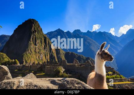 Llama in Machu Picchu Archeological Site, Cuzco Province, Peru - Stock Photo