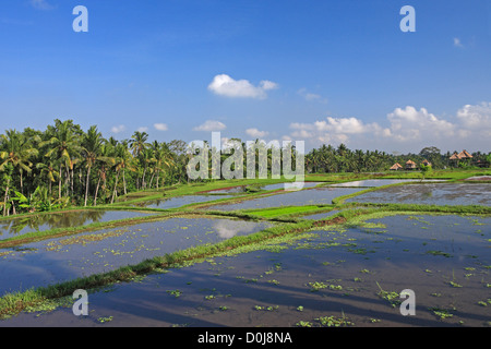 Irrigated Rice Terraces on a hillside, with traditional Balinese buildings in the background, near Ubud. Bali, Indonesia - Stock Photo