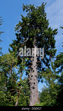 coastal sitka spruce - photo #18