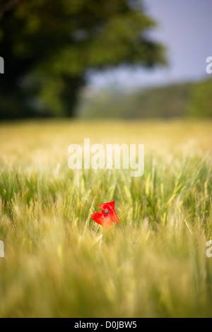 Red poppy amongst swaying barley field  in the Devonshire countryside. - Stock Photo