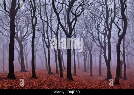 Mist hangs in Tandle Woods in Tandle Hill Country Park. - Stock Photo
