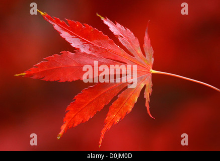 Single Red Japanese Maple Leaf with red background - Stock Photo