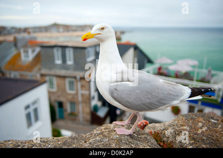 A seagull stands on a wall in St Ives. - Stock Photo