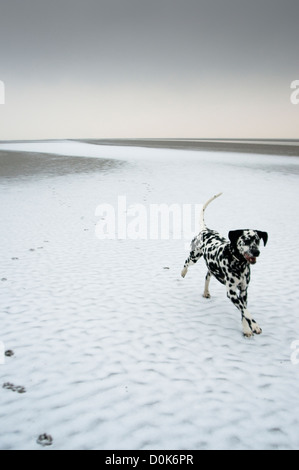 A dalmation dog running across a frozen beach. - Stock Photo