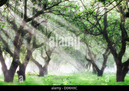 Sunlight shines through an apple orchard on a misty morning. - Stock Photo