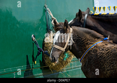 Close up of Shire foal and mare horse at Egton Show in summer North York Moors National Park North Yorkshire England - Stock Photo