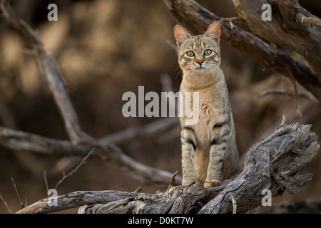 African wild cat, (Felis silvestris lybica) in Kgalagadi transfrontier park, - Stock Photo