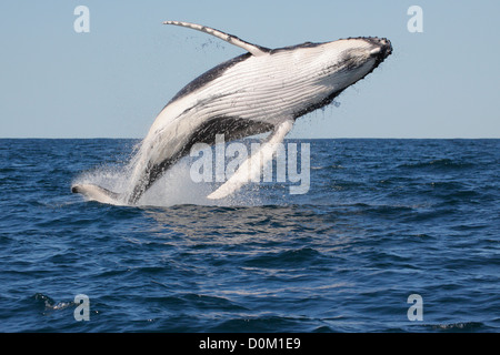 Young Humpback Whale (Megaptera novaeangliae) breaching, leaping in Byron Bay, New South Whales, Australia - Stock Photo