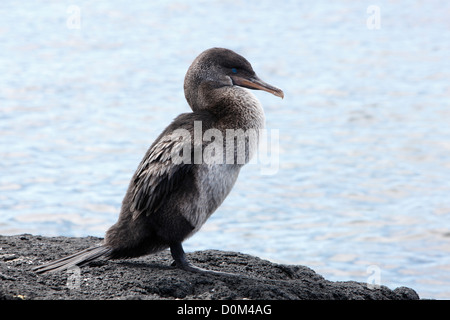 Flightless Cormorant Galapagos Islands - Stock Photo