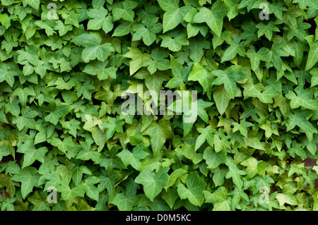 Ivy on a brick wall - Stock Photo