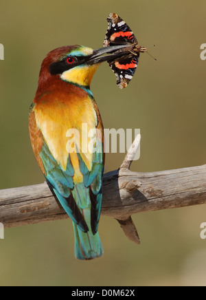 Merops apiaster bee-eater with a butterfly in a green background