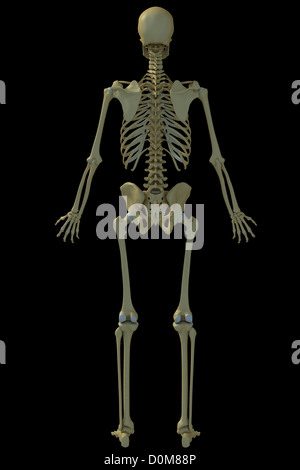 Human skeleton full rear view from an early 20th century anatomy rear full body view of the male human skeleton stock photo ccuart Image collections