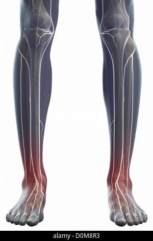 Front view of the nerves and bones of the lower legs (male). - Stock Photo