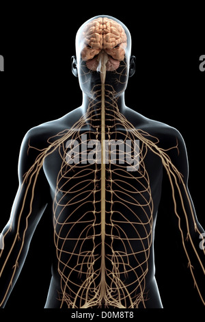 Stylized front view of the nerves of the upper body. - Stock Photo