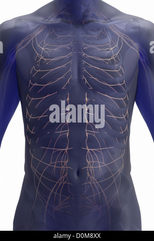 Front view of the nerves and bones of the trunk. - Stock Photo