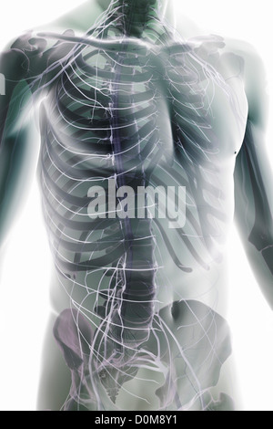 Stylized three-quarter view of the nerves of the trunk (male). The bones are also present. - Stock Photo
