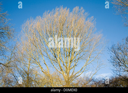 Leafless branches deciduous tree against blue sky - Stock Photo